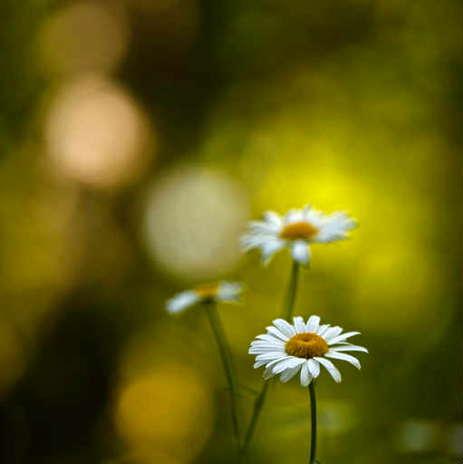 Forest daisies
