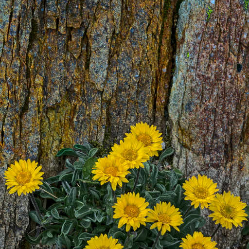 Golden fleabane