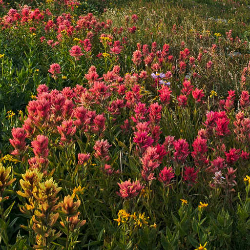 Paintbrush meadow