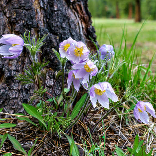 Pasque flower party