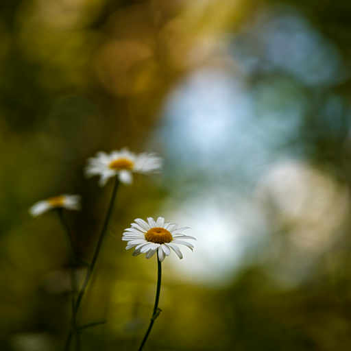 Forest Daisies 2