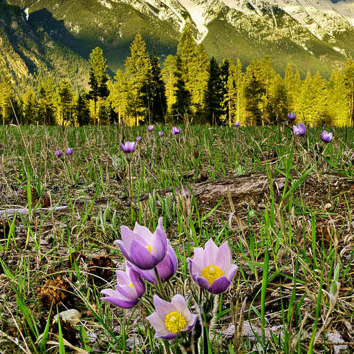 Rocky Mountain pasque flowers