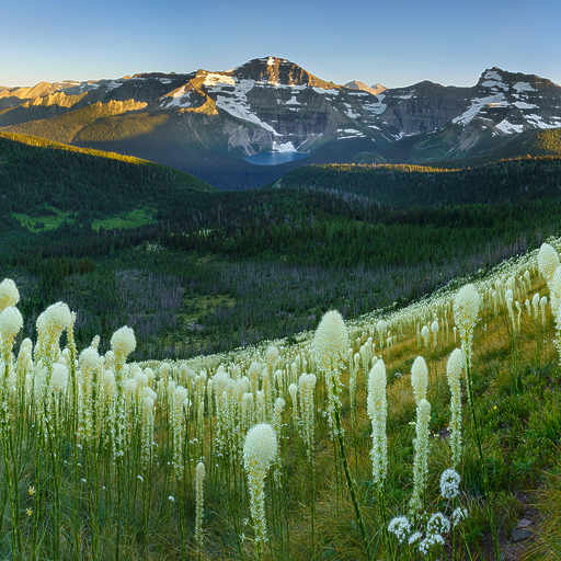 Waterton Beargrass
